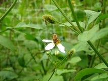 吮花蜜的小的蜂从一朵小花 免版税库存图片