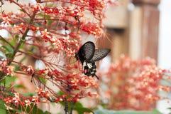 吮花蜜的弄脏蝴蝶从花钉红色雄芯花蕊 库存照片