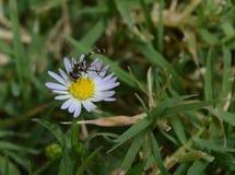 吮花蜜的猫鼬黄蜂的宏观照片从一朵小野花 免版税库存图片