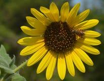 吮花蜜的蜂从一个大黄色和棕色向日葵 库存照片
