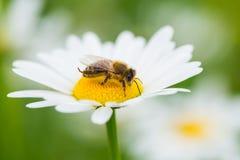 吮花蜜的蜂从雏菊花 图库摄影