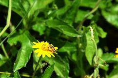 吮花蜜的黑和黄色象蜂的飞行从一朵美丽的黄色野花在泰国 库存图片