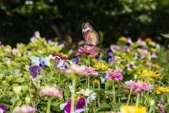 吮花蜜的蝴蝶从百日菊属花 图库摄影