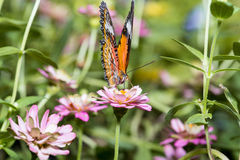 吮花蜜的蝴蝶从百日菊属花 库存图片