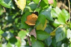 吮蜂蜜的繁忙的蝴蝶从花 免版税库存照片