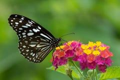 吮蜂蜜的锡兰蓝色玻璃状老虎蝴蝶从五颜六色的花 库存图片