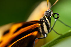 吮蝴蝶接近的花蜜  免版税库存照片