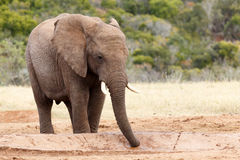 吮水的非洲人布什大象 免版税库存图片