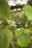 启动的厄瓜多尔蜂鸟球拍尾标 免版税库存图片