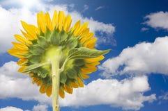 吸收星期日向日葵的光芒  免版税库存照片