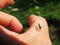 吸血动物蚊子(蚊科)在受害者 图库摄影
