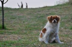 吸血鬼狗 免版税图库摄影