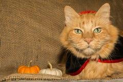 吸血鬼猫 免版税库存图片