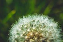 吹动蓝色精密复制蒲公英黑暗一个植入空白风的天空空间 这里春天 蜂爱这朵花 大下落绿色叶子宏观摄影水 免版税库存图片