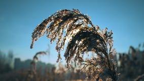 吹反对干芦苇的风在称芦苇的一冬天冷的天下来 股票录像