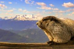 吹口哨不列颠哥伦比亚省古老的土拨鼠在加拿大,有趣的山啮齿目动物 免版税图库摄影