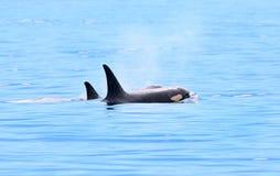 吹和游泳在海洋,维多利亚,加拿大的两只海怪虎鲸 图库摄影
