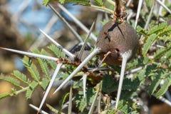 吹哨的刺金合欢树球茎 免版税库存图片