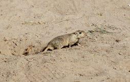 吹哨的沙漠之鼠 库存照片