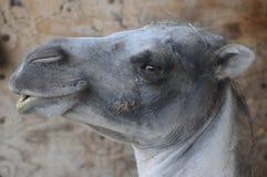 吹哨的骆驼 库存图片