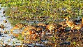 吹哨的鸭子卡卡杜澳大利亚 免版税库存照片