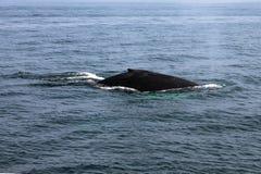 吹在大西洋的鲸鱼 库存图片