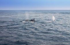 吹在大西洋的鲸鱼 免版税库存图片
