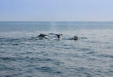 吹在大西洋的鲸鱼 库存照片