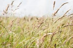 吹在微风的野草在乡下草甸 免版税库存图片