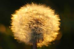 吹在横跨夏天领域背景,意味变动,成长,运动的概念性图象的风的蒲公英种子和 图库摄影