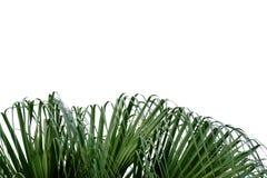 吹在白色被隔绝的背景的棕榈叶和风 免版税库存照片