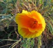 吹在风的一棵金黄,被翻动的花菱草的特写镜头 库存图片