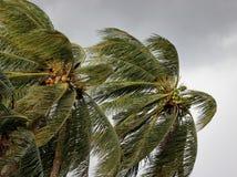 吹在风的可可椰子树在力量风暴或飓风前 免版税库存照片