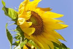 吹在风的向日葵 免版税库存照片