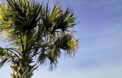 吹在风的棕榈树 库存图片
