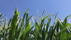 吹在风的玉米茎在一秋天天期间 股票视频