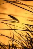 吹在风的高草在日落 免版税库存照片