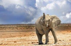 吹小号在Etosha平原的一头孤立大象 免版税库存照片
