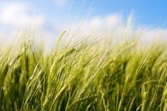 吹的庄稼麦子风 免版税库存图片