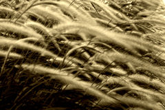 吹的芦苇风 免版税库存照片