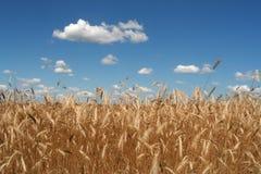 吹的麦子风 库存照片