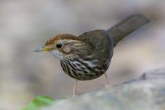 吹红喉刺莺的说话模糊不清的人(Pellorneum ruficeps),鸟 免版税图库摄影