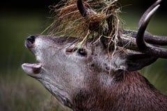 吼叫的鹿红色雄鹿 免版税库存照片