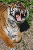 吼声老虎 免版税库存照片
