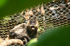 吼猴 免版税库存照片