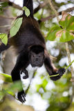 吼猴 库存照片