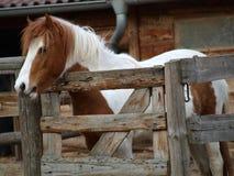 呈杂色的小马在畜栏 库存图片