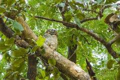 呈杂色的木猫头鹰在森林里 免版税库存图片