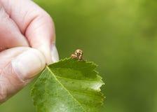 呈杂色的棕色(Erannis defoliaria) 库存图片