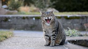 呈杂色的灰色猫在庭院里打呵欠 股票录像